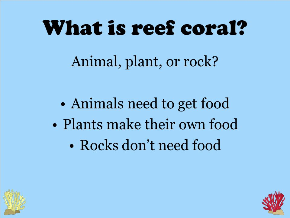 What is reef coral.Animal, plant, or rock.