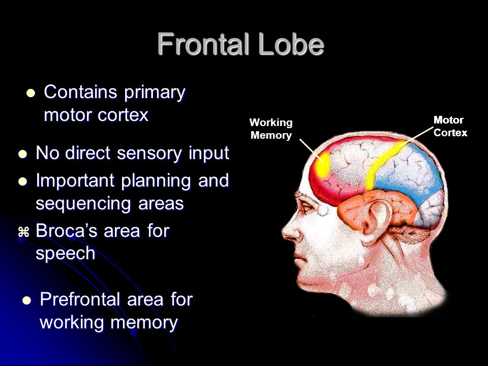 Frontal Lobe Frontal Lobe Contains primary motor cortex Contains primary motor cortex Motor Cortex Motor Cortex Broca's Area Motor Cortex Working Memory No direct sensory input No direct sensory input Important planning and sequencing areas Important planning and sequencing areas  Broca's area for speech Prefrontal area for working memory Prefrontal area for working memory