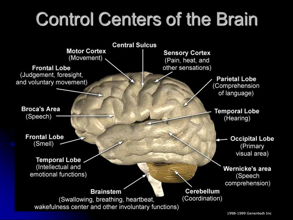 Control Centers of the Brain © 1998-1999 Genentech Inc
