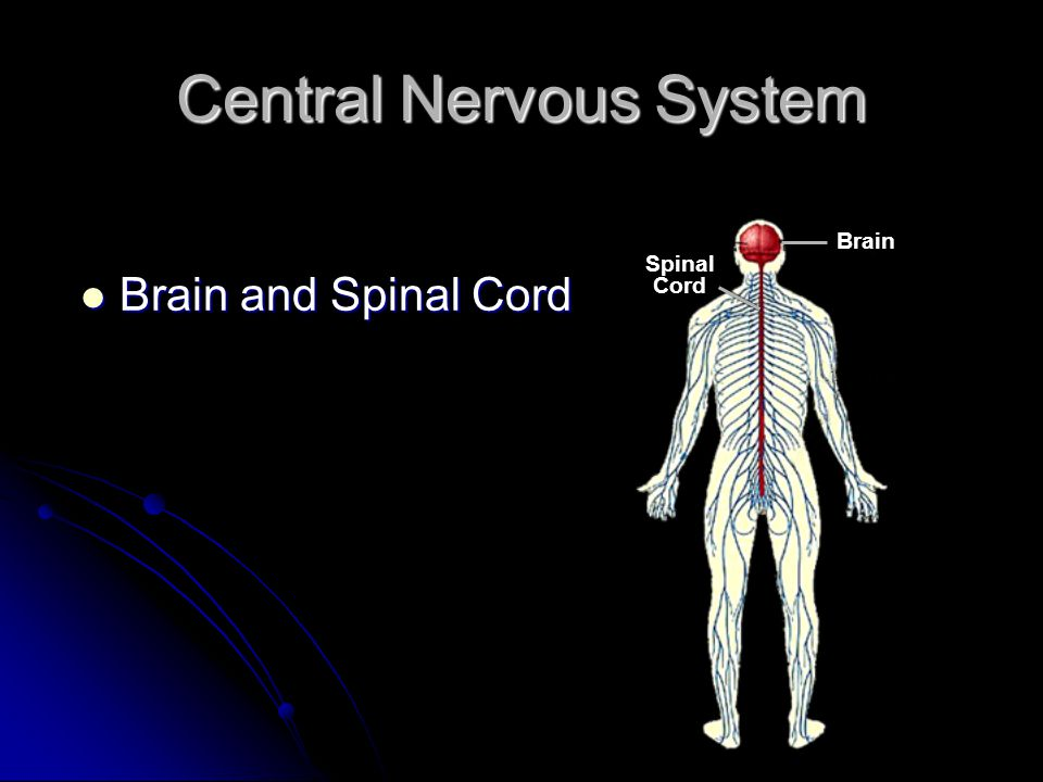 Central Nervous System Brain and Spinal Cord Brain and Spinal Cord Spinal Cord Brain