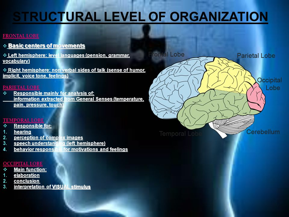 FRONTAL LOBE Basic centers of movements  Basic centers of movements  Left hemisphere: level languages (pension, grammar, vocabulary)  Right hemisphere: non verbal sides of talk (sense of humor, implicit, voice tone, feelings) PARIETAL LOBE  Responsible mainly for analysis of: information extracted from General Senses (temperature, pain, pressure, touch) TEMPORAL LOBE  Responsible for : 1.hearing 2.perception of complex images 3.speech understanding (left hemisphere) 4.behavior responsible for motivations and feelings OCCIPITAL LOBE  Main function: 1.elaboration 2.conclusion VISUAL stimulus 3.interpretation of VISUAL stimulus STRUCTURAL LEVEL OF ORGANIZATION
