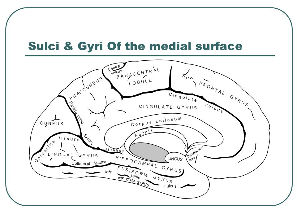 Functional areas of the tempral lobe