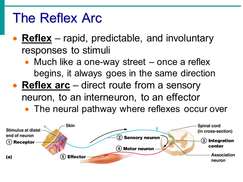 The Reflex Arc  Reflex – rapid, predictable, and involuntary responses to stimuli  Much like a one-way street – once a reflex begins, it always goes in the same direction  Reflex arc – direct route from a sensory neuron, to an interneuron, to an effector  The neural pathway where reflexes occur over
