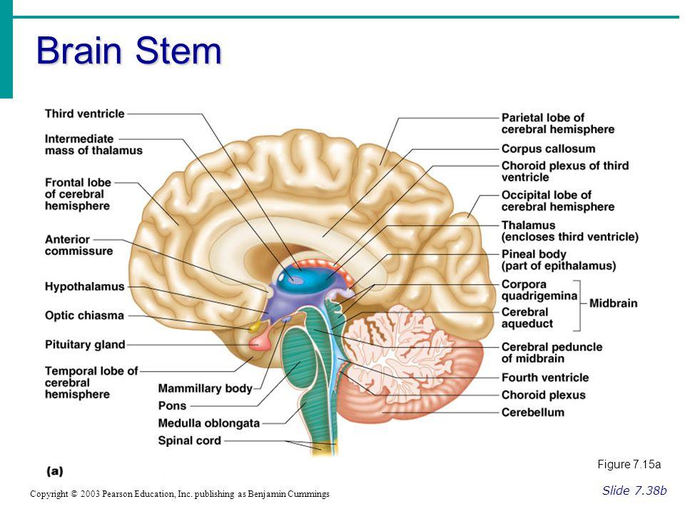 Brain Stem Slide 7.38b Copyright © 2003 Pearson Education, Inc. publishing as Benjamin Cummings Figure 7.15a