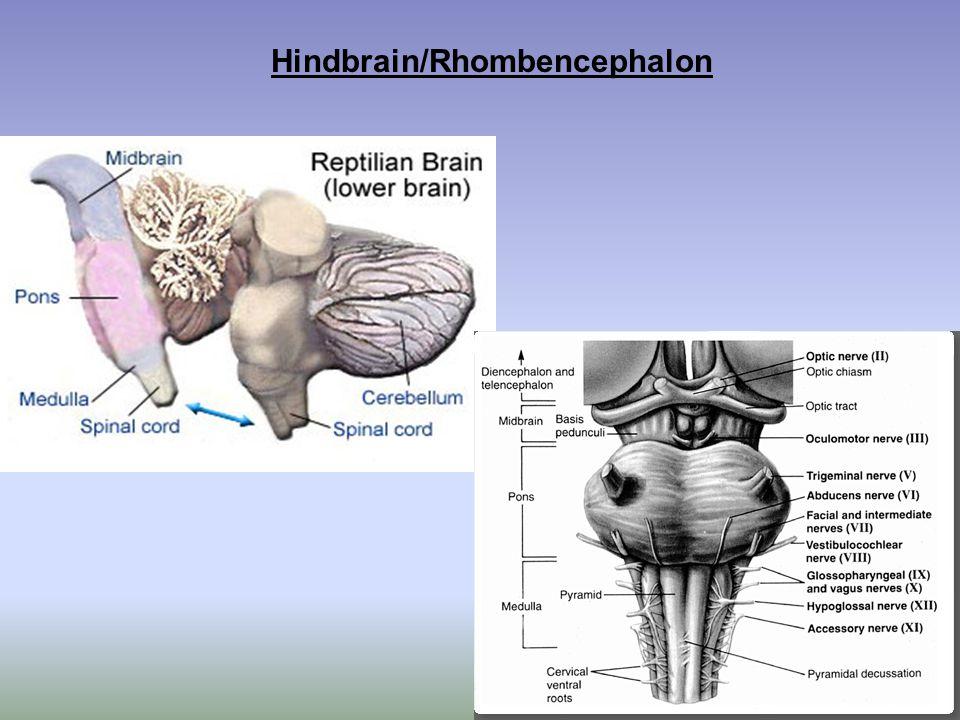 Hindbrain/Rhombencephalon