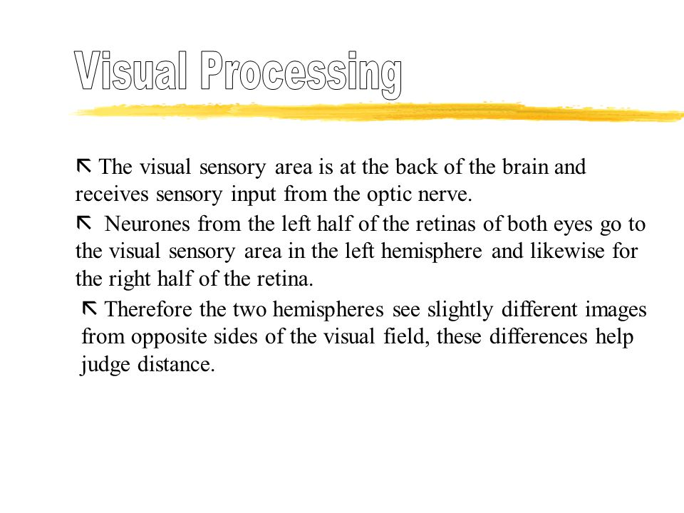  The visual sensory area is at the back of the brain and receives sensory input from the optic nerve.  Neurones from the left half of the retinas of