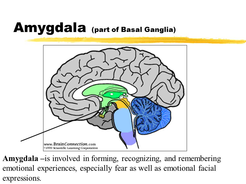 Amygdala (part of Basal Ganglia) Amygdala –is involved in forming, recognizing, and remembering emotional experiences, especially fear as well as emot