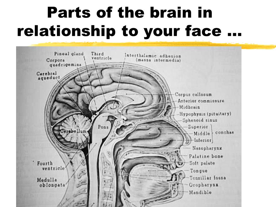 Parts of the brain in relationship to your face …