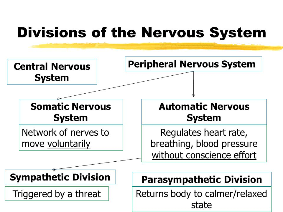 Divisions of the Nervous System Central Nervous System Peripheral Nervous System Somatic Nervous System Automatic Nervous System Network of nerves to move voluntarily Regulates heart rate, breathing, blood pressure without conscience effort Sympathetic Division Triggered by a threat Parasympathetic Division Returns body to calmer/relaxed state