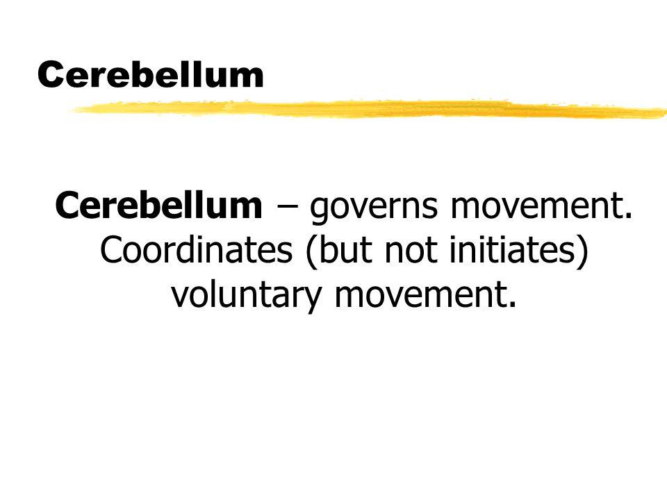 Cerebellum Cerebellum – governs movement. Coordinates (but not initiates) voluntary movement.