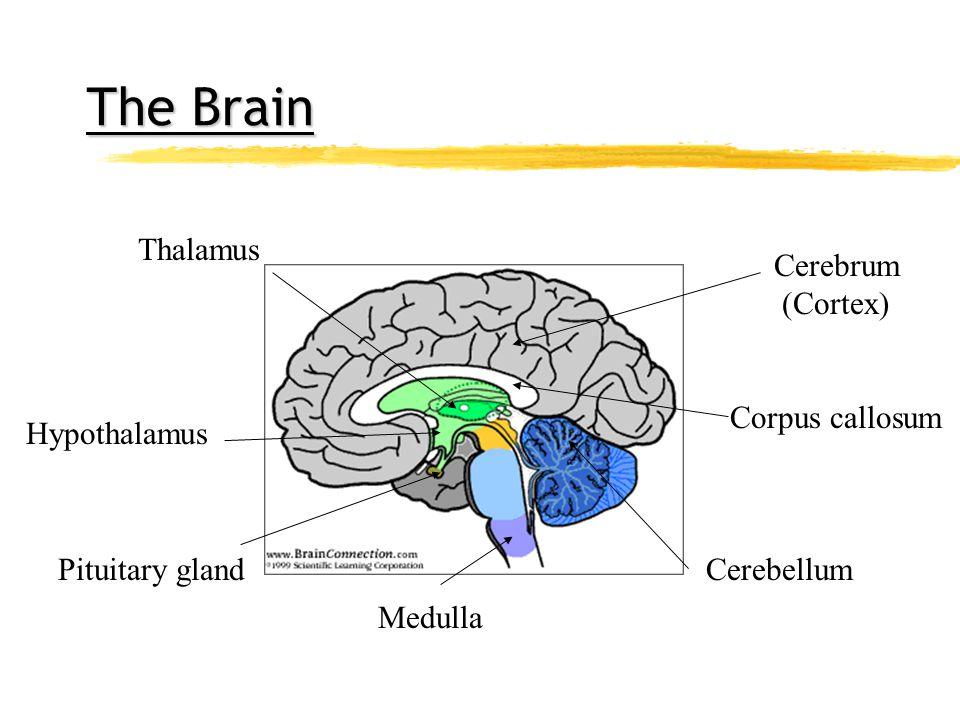 The Brain The Brain Cerebrum (Cortex) Corpus callosum Cerebellum Medulla Pituitary gland Hypothalamus Thalamus
