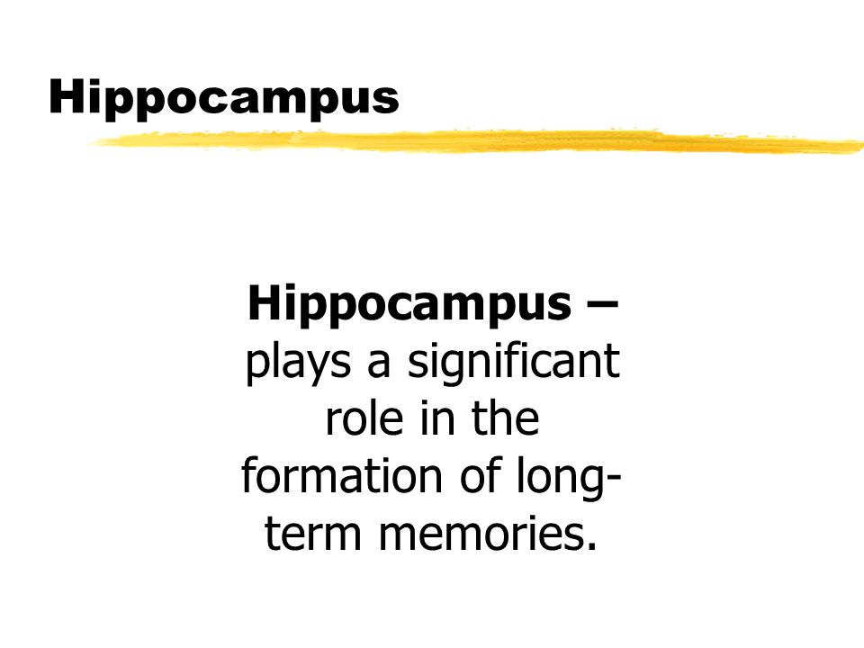 Hippocampus Hippocampus – plays a significant role in the formation of long- term memories.