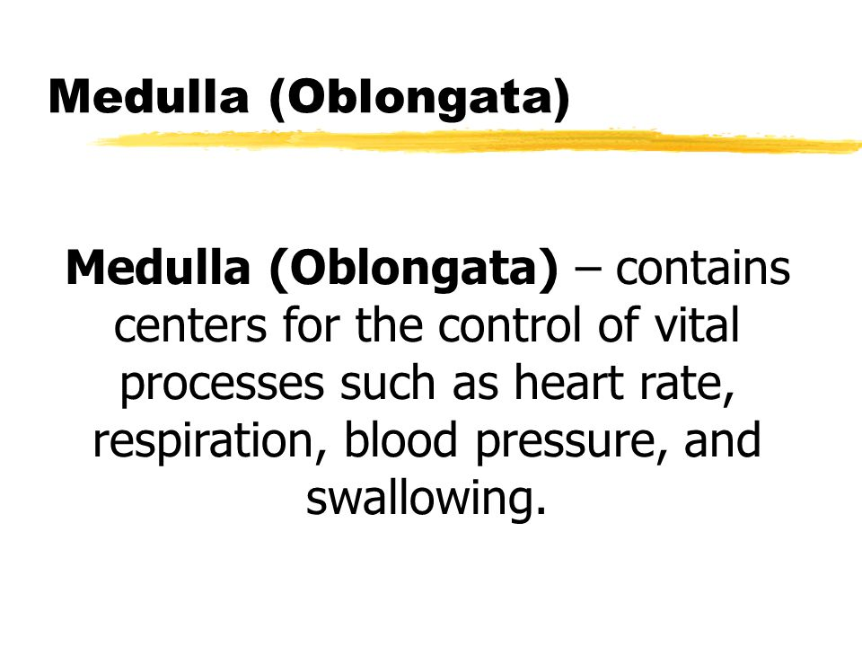 Medulla (Oblongata) Medulla (Oblongata) – contains centers for the control of vital processes such as heart rate, respiration, blood pressure, and swallowing.