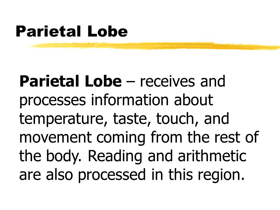 Parietal Lobe Parietal Lobe – receives and processes information about temperature, taste, touch, and movement coming from the rest of the body.