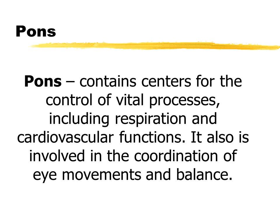 Pons Pons – contains centers for the control of vital processes, including respiration and cardiovascular functions.
