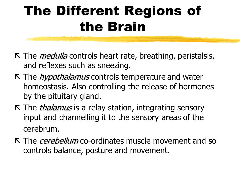 The Different Regions of the Brain medulla ãThe medulla controls heart rate, breathing, peristalsis, and reflexes such as sneezing.