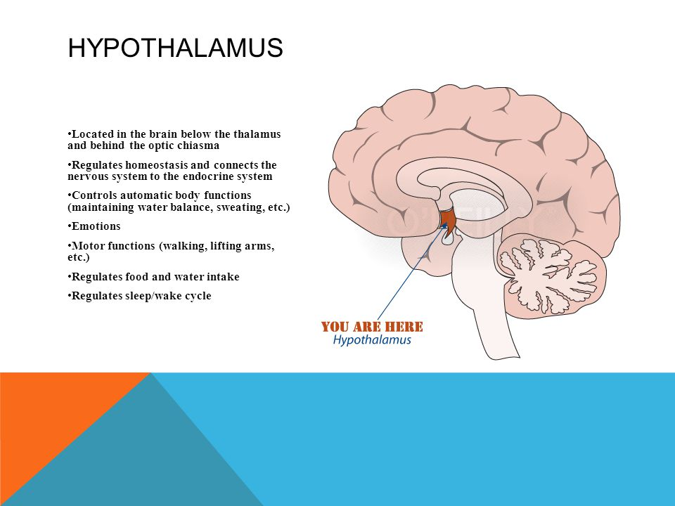 HYPOTHALAMUS Located in the brain below the thalamus and behind the optic chiasma Regulates homeostasis and connects the nervous system to the endocri