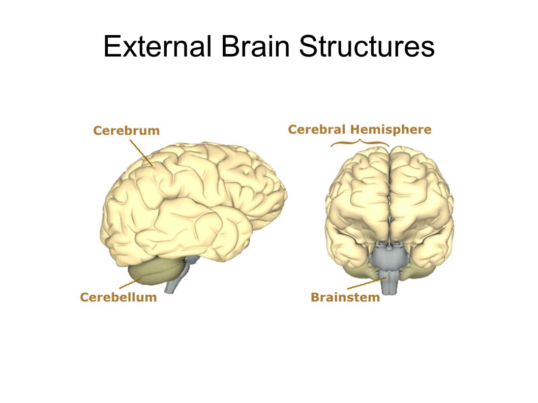 External Brain Structures
