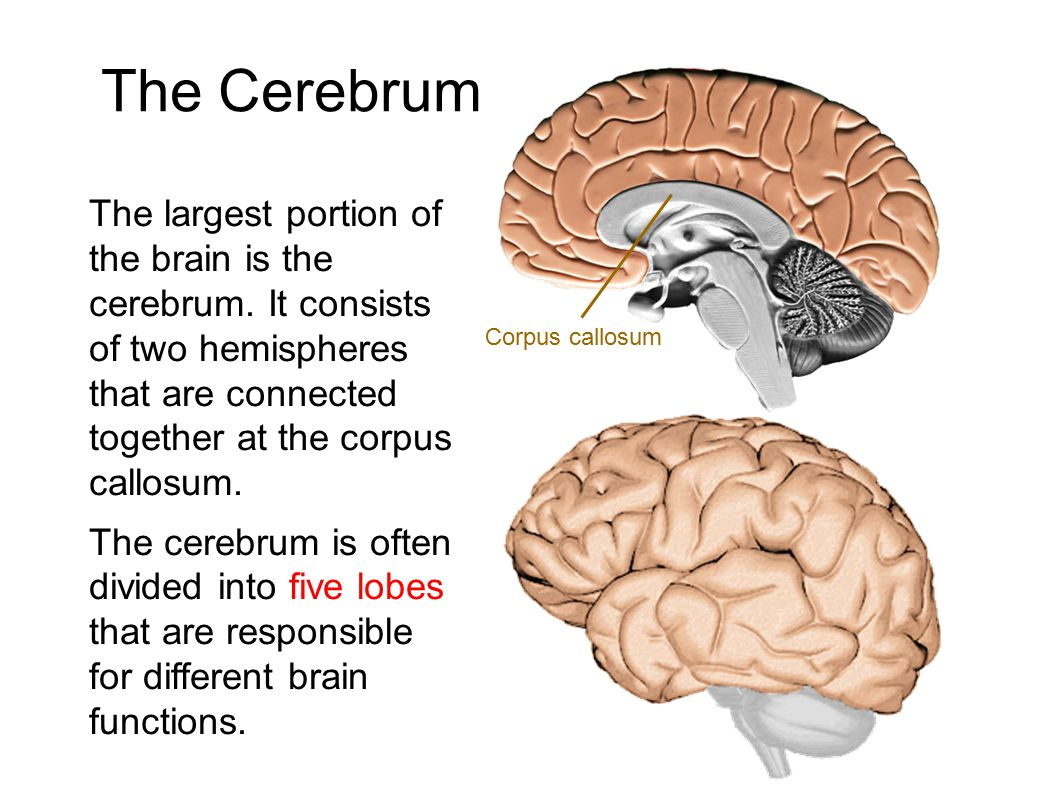 The Cerebrum The largest portion of the brain is the cerebrum. It consists of two hemispheres that are connected together at the corpus callosum. The