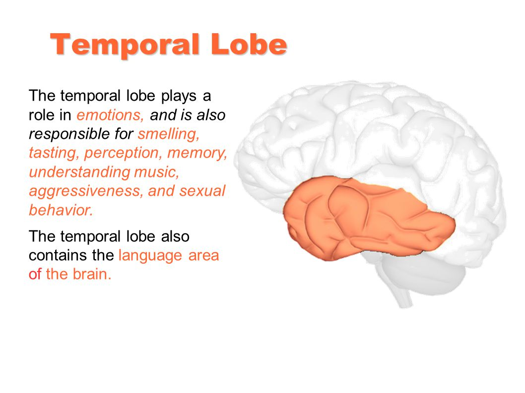 Temporal Lobe The temporal lobe plays a role in emotions, and is also responsible for smelling, tasting, perception, memory, understanding music, aggressiveness, and sexual behavior.