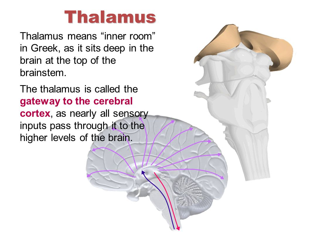 "Thalamus Thalamus means ""inner room"" in Greek, as it sits deep in the brain at the top of the brainstem. The thalamus is called the gateway to the cer"