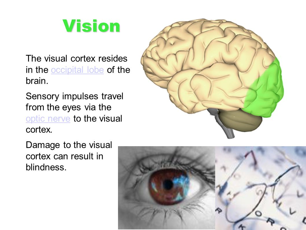 Vision The visual cortex resides in the occipital lobe of the brain.occipital lobe Sensory impulses travel from the eyes via the optic nerve to the vi
