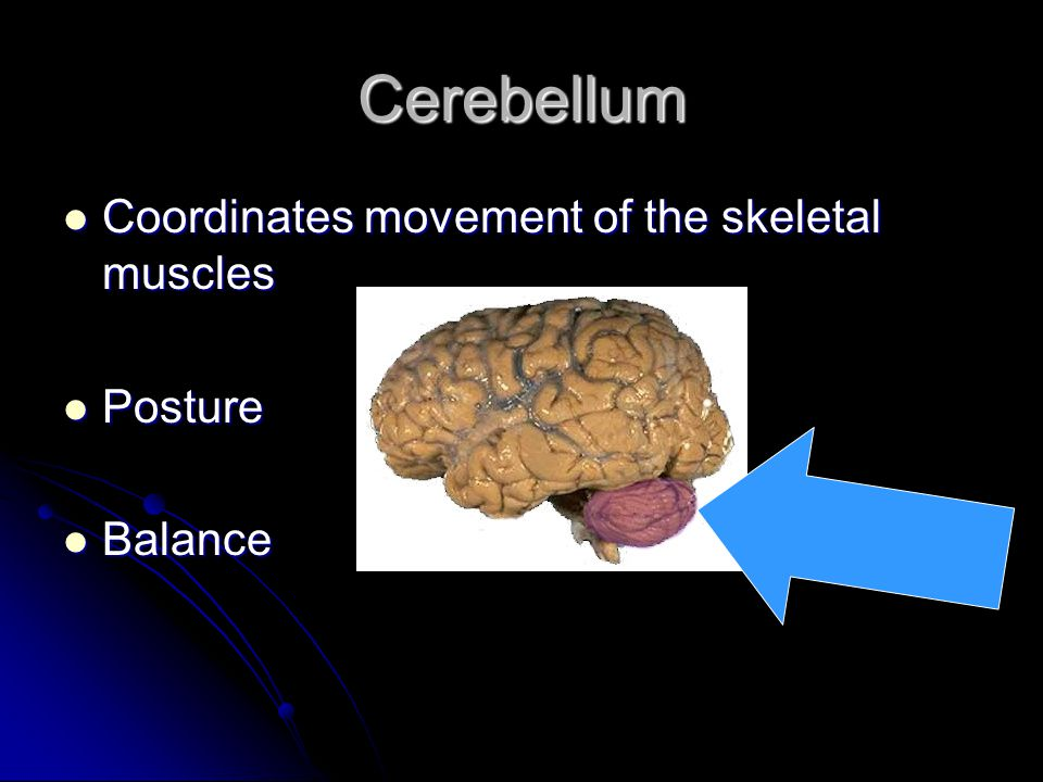 Cerebellum Coordinates movement of the skeletal muscles Coordinates movement of the skeletal muscles Posture Posture Balance Balance