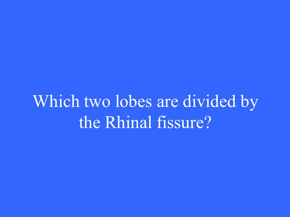Which two lobes are divided by the Rhinal fissure