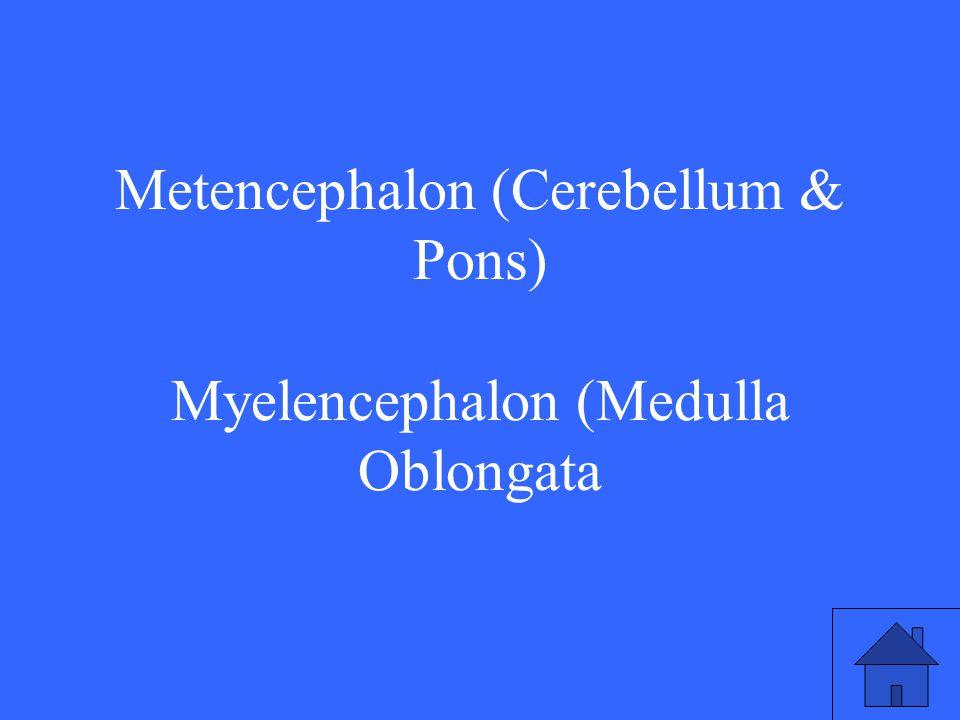Metencephalon (Cerebellum & Pons) Myelencephalon (Medulla Oblongata