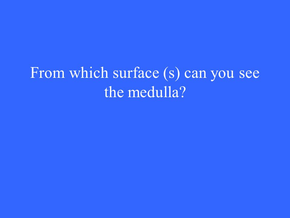 From which surface (s) can you see the medulla