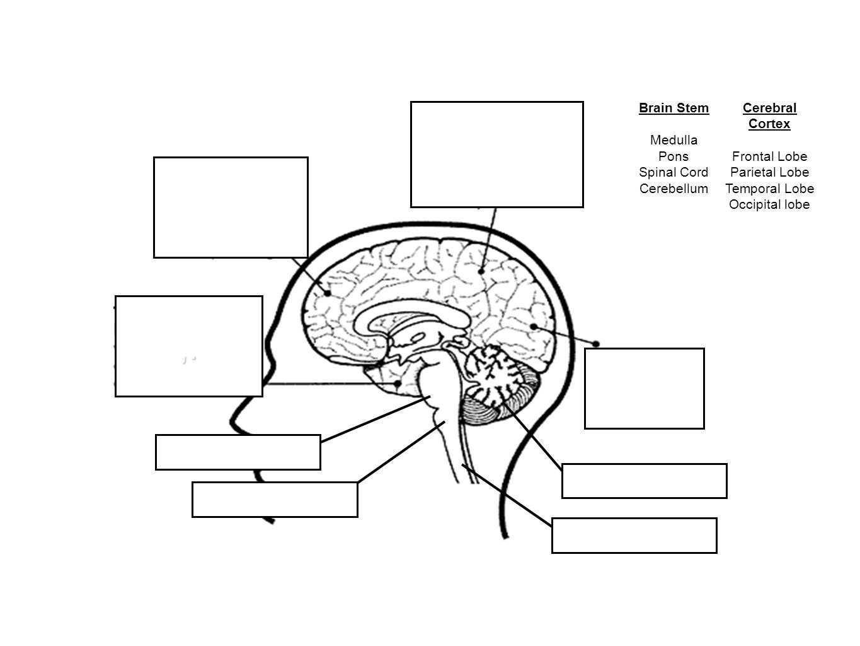 ,. Brain Stem Medulla Pons Spinal Cord Cerebellum Cerebral Cortex Frontal Lobe Parietal Lobe Temporal Lobe Occipital lobe