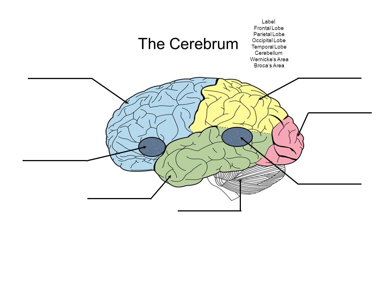 The Cerebrum Label Frontal Lobe Parietal Lobe Occipital Lobe Temporal Lobe Cerebellum Wernicke's Area Broca's Area