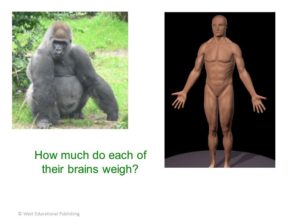 © West Educational Publishing Gorilla's Brain = 1 pound Human's Brain = 3 pounds