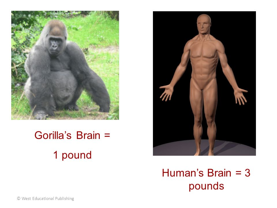 © West Educational Publishing Brain to Body Ratio 1:500 Brain to Body Ratio 3:150 If the human brain were of the same ratio as the gorilla's, our brain would only weigh 5 ounces!