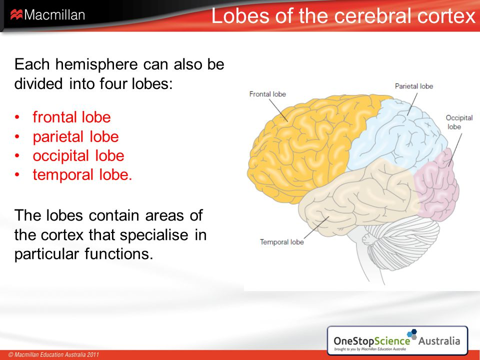 Lobes of the cerebral cortex frontal lobe parietal lobe occipital lobe temporal lobe. Each hemisphere can also be divided into four lobes: The lobes c