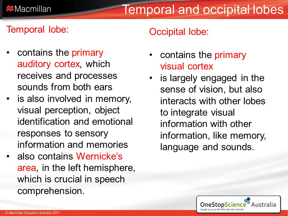Temporal and occipital lobes Temporal lobe: contains the primary auditory cortex, which receives and processes sounds from both ears is also involved