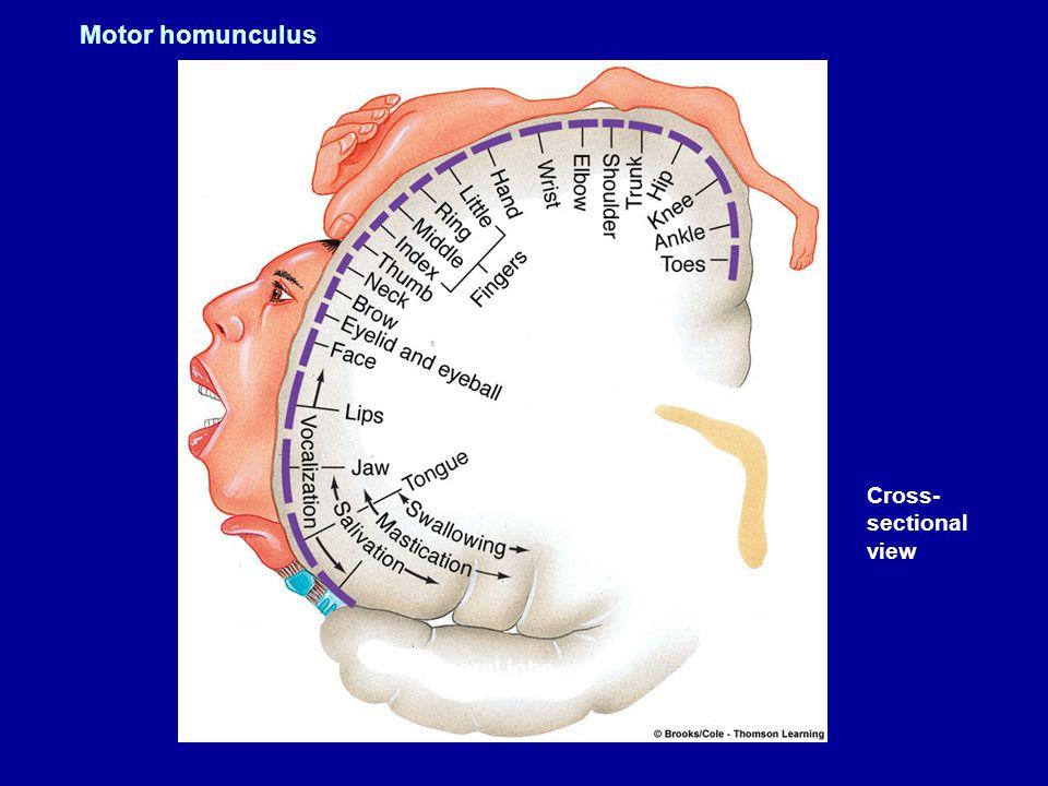 Figure 5.12 (2) Page 149 Left hemisphere Cross- sectional view Temporal lobe Motor homunculus