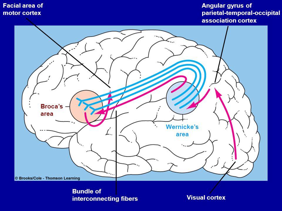 Facial area of motor cortex Broca's area Bundle of interconnecting fibers Wernicke's area Visual cortex Angular gyrus of parietal-temporal-occipital a