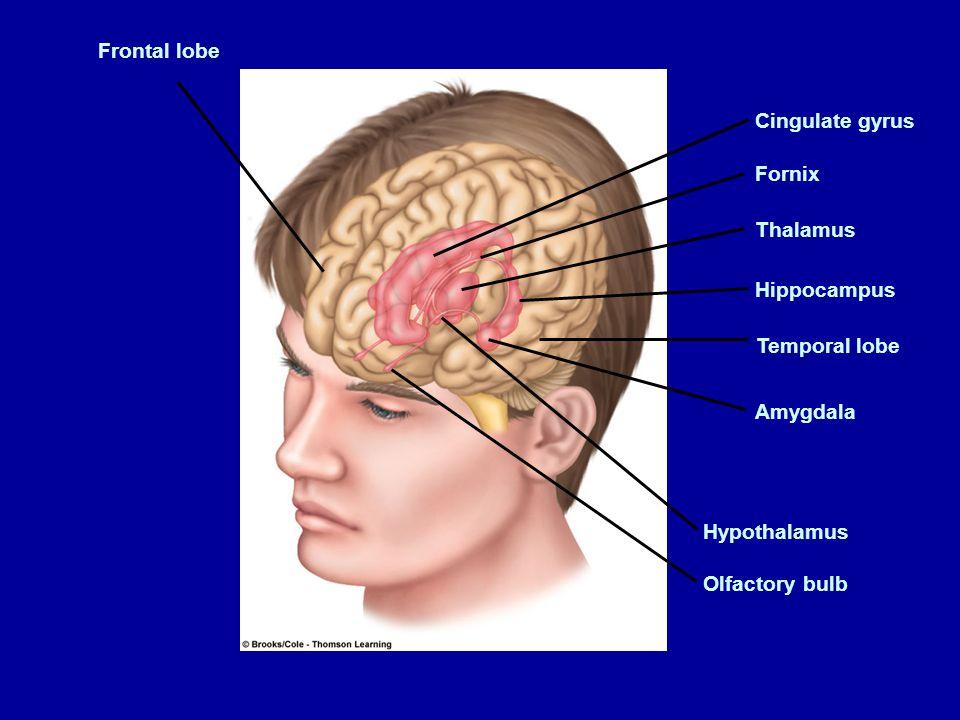 Figure 5.18 Page 157 Frontal lobe Cingulate gyrus Fornix Thalamus Hippocampus Temporal lobe Amygdala Hypothalamus Olfactory bulb