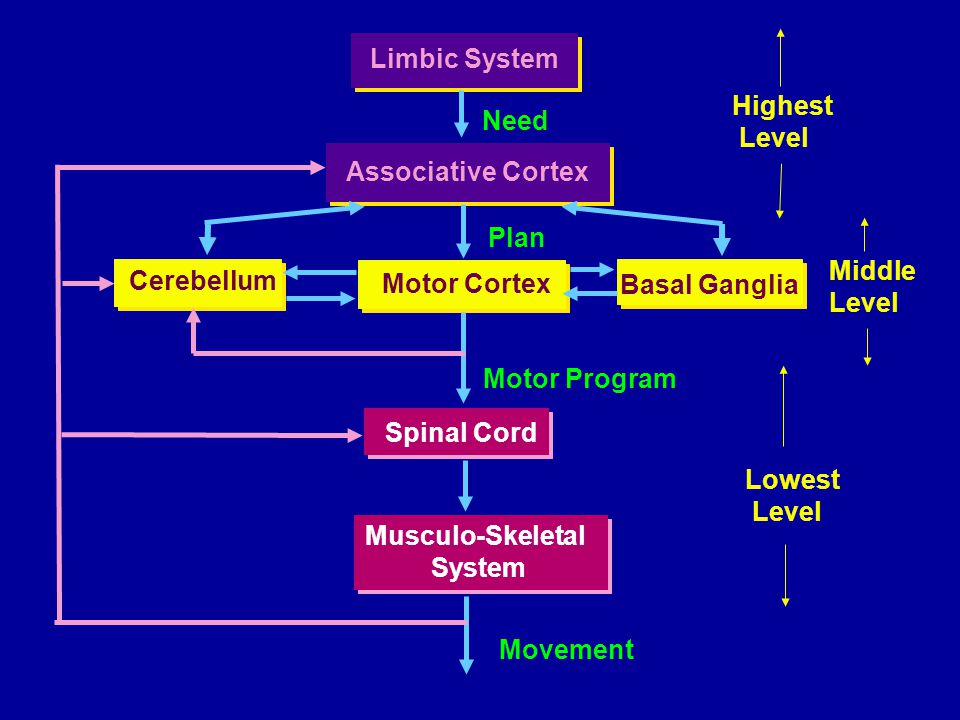 Limbic System Associative Cortex Cerebellum Motor Cortex Basal Ganglia Spinal Cord Musculo-Skeletal System Musculo-Skeletal System Movement Motor Prog