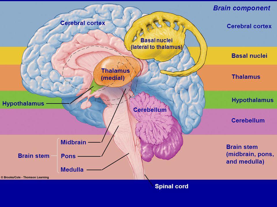 Table 5.3 (1) Page 144 Hypothalamus Brain stem Cerebral cortex Thalamus (medial) Basal nuclei (lateral to thalamus) Cerebellum Spinal cord Midbrain Po
