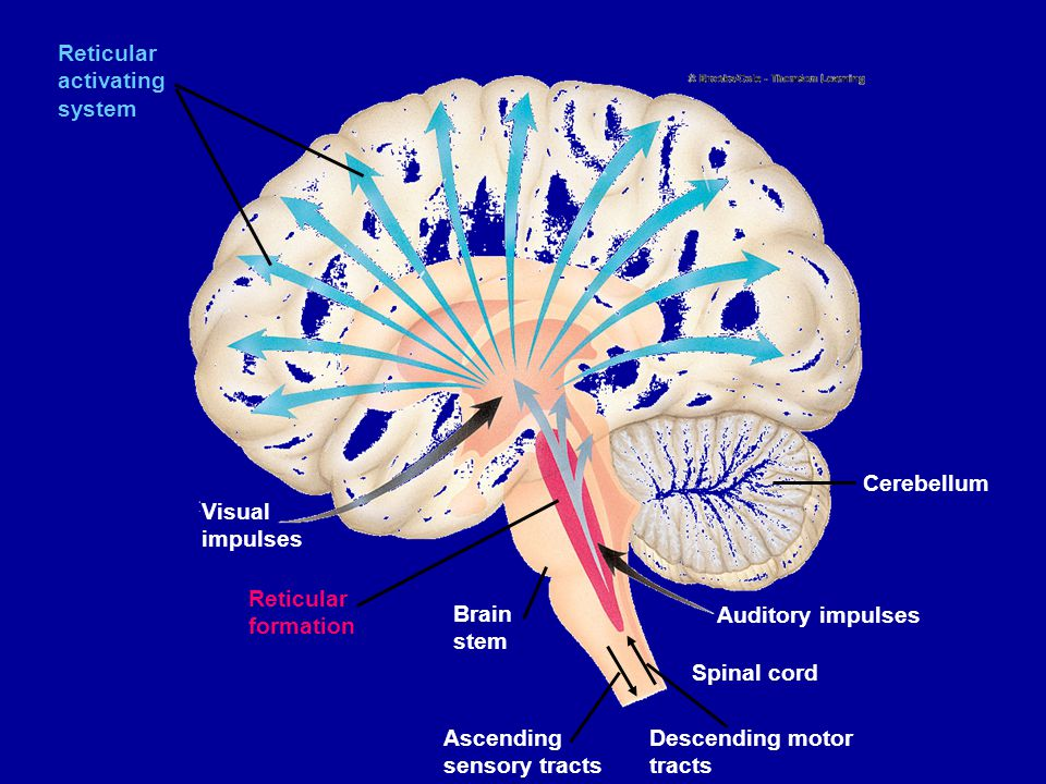 Reticular activating system Visual impulses Reticular formation Brain stem Ascending sensory tracts Descending motor tracts Spinal cord Auditory impul