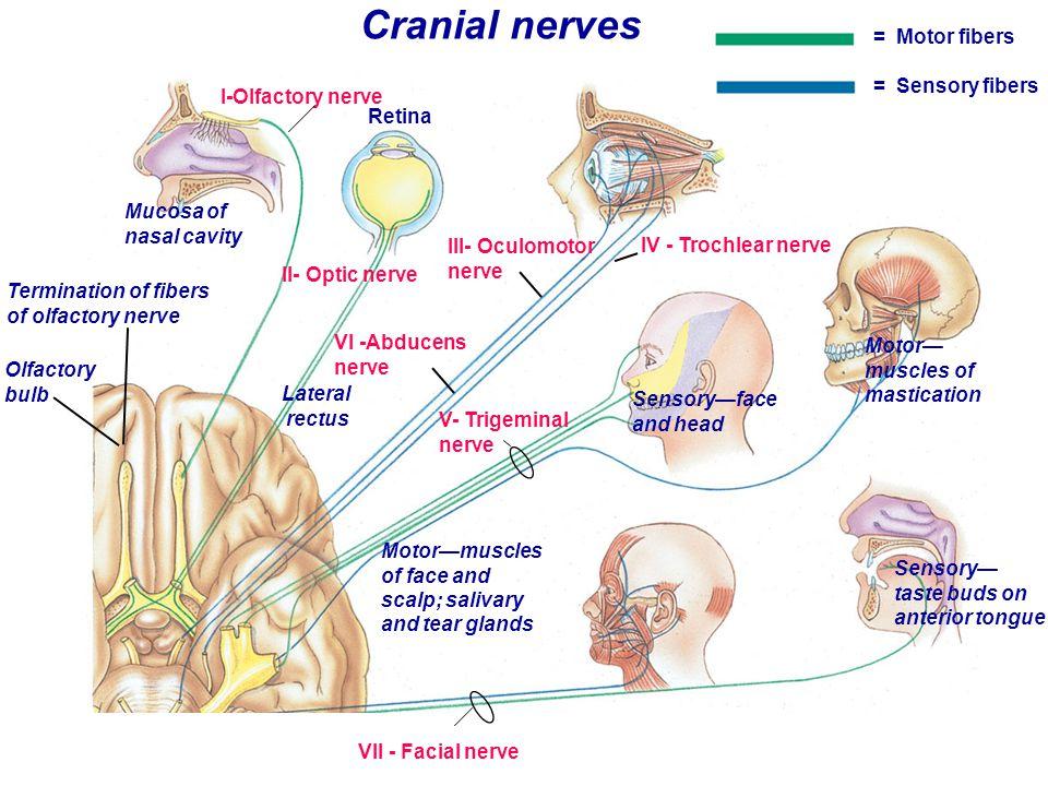 I-Olfactory nerve Mucosa of nasal cavity Termination of fibers of olfactory nerve Olfactory bulb Retina III- Oculomotor nerve IV - Trochlear nerve Mot
