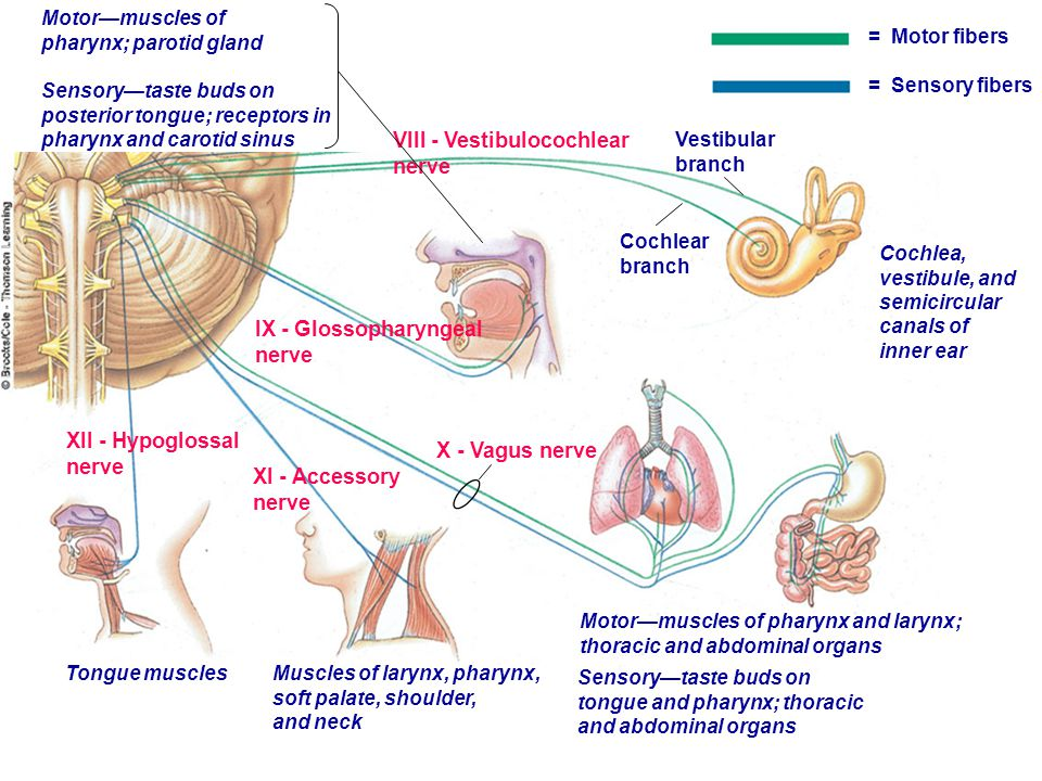 = Motor fibers = Sensory fibers XII - Hypoglossal nerve IX - Glossopharyngeal nerve X - Vagus nerve XI - Accessory nerve VIII - Vestibulocochlear nerv