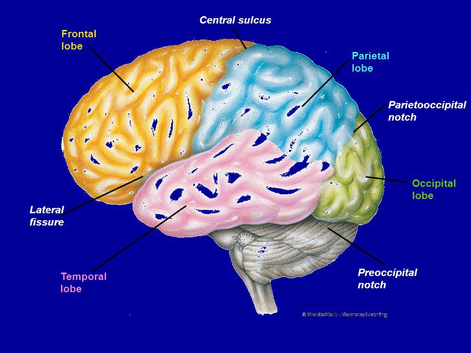 Frontal lobe Central sulcus Parietal lobe Parietooccipital notch Occipital lobe Preoccipital notch Temporal lobe Lateral fissure