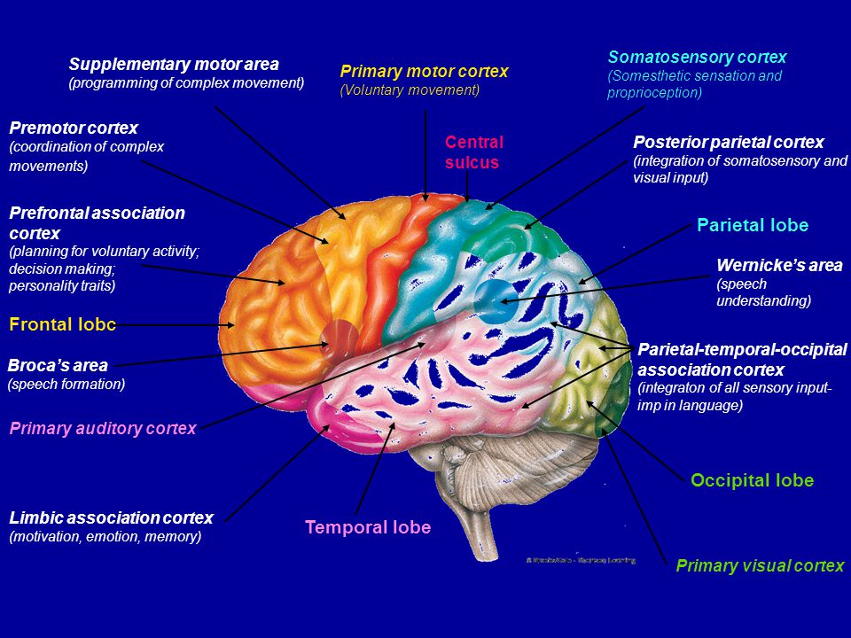 Parietal Lobe - somatosensory cortex Somesthetic sensation - sensations from the surface of the body - touch, pain, pressure, heat and cold This info is projected to the somatosensory cortex - site for initial cortical processing and perception of somesthetic and proprioceptive input Body regions are topographically mapped - sensory homunculus Sensory cortex - receives information from the opposite side of the body (eg damage on right side results in sensory loss on left side) Simple awareness of touch, pressure, temp or pain is first detected by the thalamus, but cortex is required for perception - intensity and spatial discrimination This info is then projected (via fibre tracts) to association cortices for analysis and integration of sensory information - eg., perception of texture, firmness, temp, shape, position, location of an object you are holding)