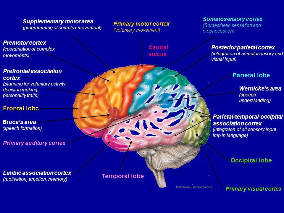 Supplementary motor area (programming of complex movement) Primary motor cortex (Voluntary movement) Central sulcus Somatosensory cortex (Somesthetic