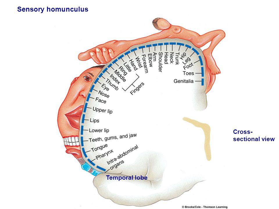 Figure 5.11 (2) Page 149 Left hemisphere Cross- sectional view Temporal lobe Sensory homunculus