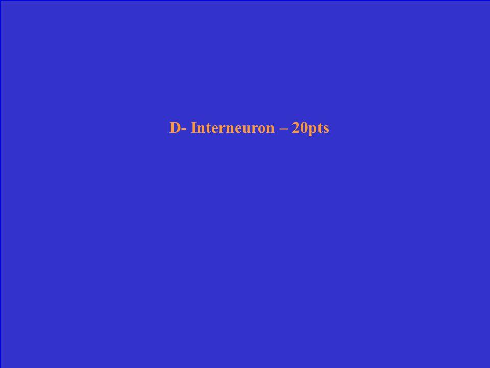 D- Interneuron – 20pts