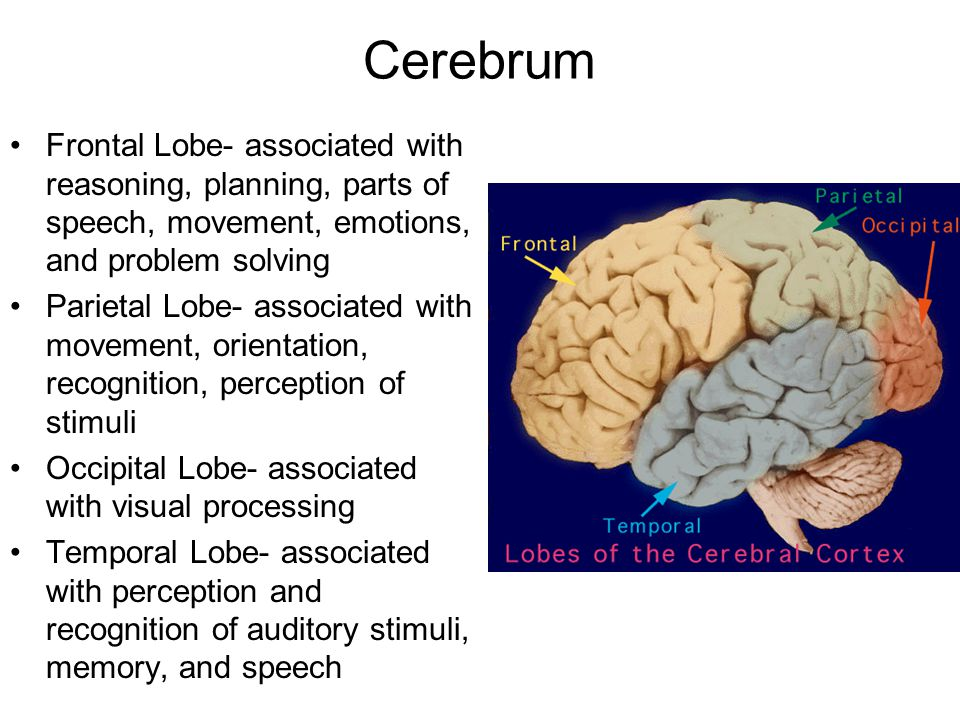 Cerebrum Frontal Lobe- associated with reasoning, planning, parts of speech, movement, emotions, and problem solving Parietal Lobe- associated with movement, orientation, recognition, perception of stimuli Occipital Lobe- associated with visual processing Temporal Lobe- associated with perception and recognition of auditory stimuli, memory, and speech
